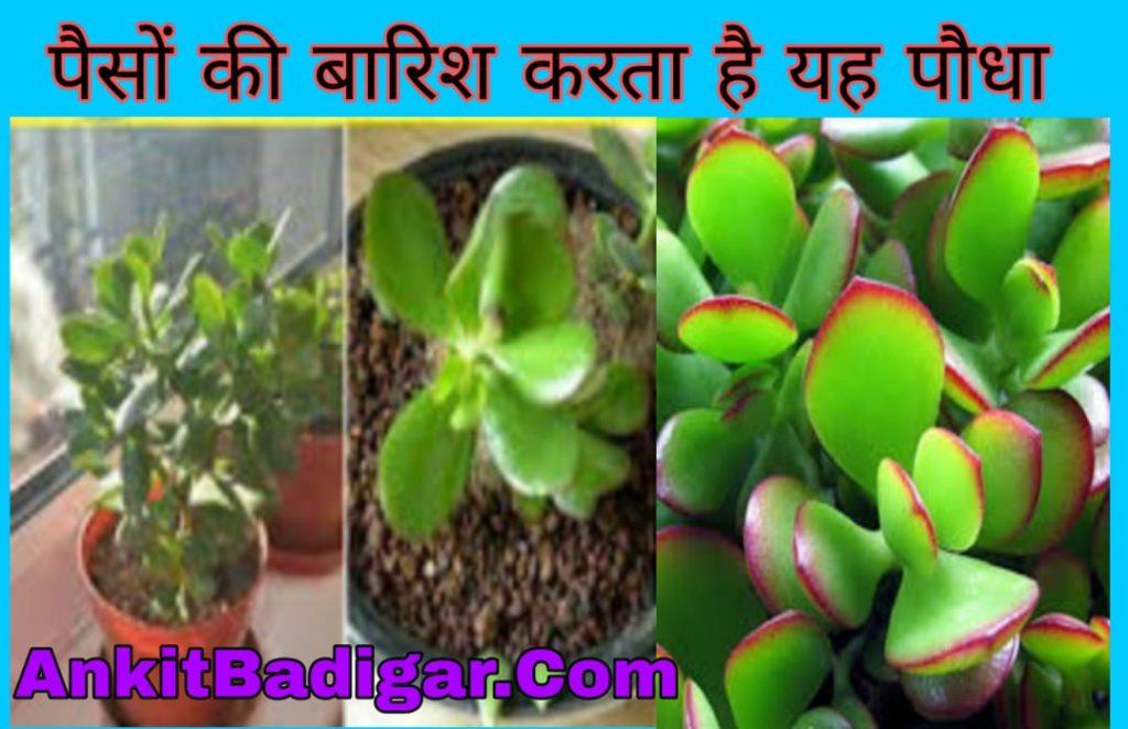 Crassula Plant in Hindi